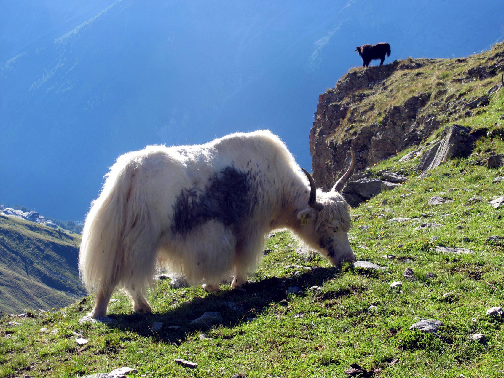 Kuschelige Kühe